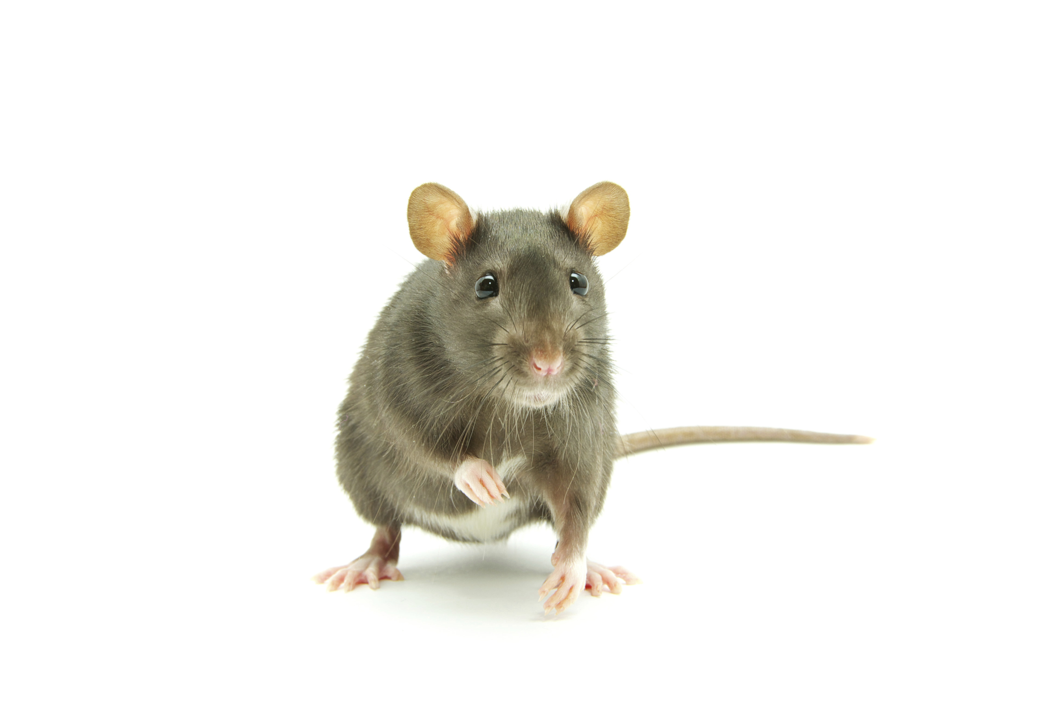 How Do I Get Rid of Rats In My Home? - PestGone